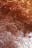 Rosa Rosa för hund canina med mogna rosa höfter som täckas med frost på a Royaltyfri Bild