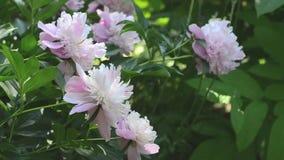 Rosa ` för pion`-sorbet, lager videofilmer