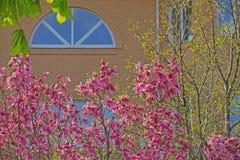 Rosa f?nster f?r magnoliatr?dblomma inget royaltyfria bilder