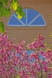 Rosa f?nster f?r magnoliatr?dblomma inget royaltyfria foton