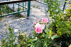 Rosa f?rgblomma royaltyfri fotografi