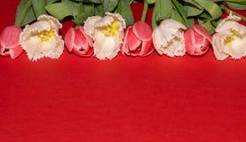 Rosa f?rger vitt Tulpan Blommor R?tt isolerat V?r Makro arkivbild
