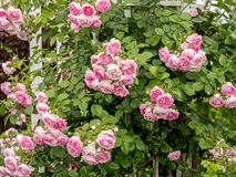 Rosa f?rgrosbuske royaltyfria bilder
