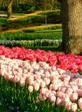 Rosa f?rgtulpan som reflekterar solen p? Keukenhof tr?dg?rdar, Lisse, s?dra Holland Fotograferat i HDR h?gt dynamiskt omr?de royaltyfria bilder