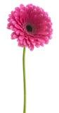 Rosa Farbe des Gerbera Lizenzfreies Stockbild