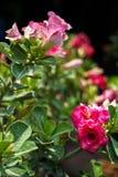 Rosa Farbewüstenrose oder Adenium Obesum, das mit Unschärfe-BAC blüht Lizenzfreies Stockfoto