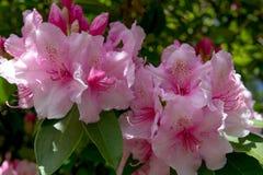 Rosa farbige Rhododendronblüte mit geschecktem Sonnenlicht stockfotografie