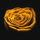 Rosa favolosa di bianco fotografia stock