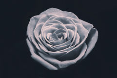 Rosa favolosa di bianco Immagini Stock Libere da Diritti