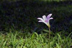 Rosa feenhafte Lilie auf dem grünen Gras Lizenzfreie Stockbilder