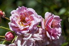 Rosa `-Felicia`, royaltyfri fotografi