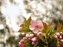Rosa filial sakura för körsbärsröd blomning med solig abstrakt bokehbakgrund Royaltyfria Foton
