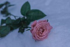 Rosa in fiore della neve di inverno immagine stock