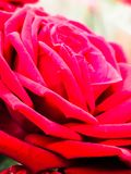 Flower fiore. Rosa fiore flowers Royalty Free Stock Images