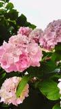 Rosa fiorisce il hortensia immagini stock