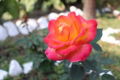 Rosa fiorisce l'India America U.S.A. Dubai il Karnataka fotografia stock