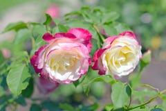 Rosa fiorisce la delizia del doppio di varietà Immagine Stock