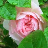 Rosa in fioritura Fotografie Stock Libere da Diritti
