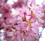 rosa fjäder Royaltyfria Bilder
