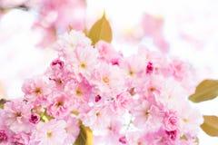 rosa fjäder Royaltyfri Bild