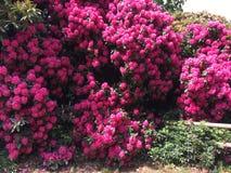 rosa fjäder för blommor Arkivfoton