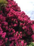 rosa fjäder för blommor arkivbilder