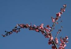 rosa fjäder för blomning royaltyfria foton