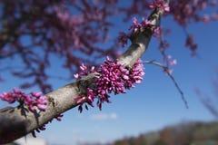 rosa fjäder för blomningar Royaltyfri Fotografi