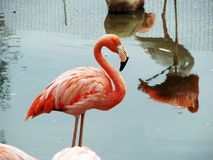 Rosa Flamingo royaltyfria foton