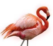 Rosa Flamingo Arkivfoto