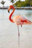 Rosa Flamingo Stockbilder
