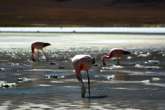 Rosa flamingo Royaltyfri Bild