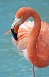 Rosa Flamingo. Lizenzfreies Stockbild