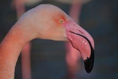 Rosa Flamingo Stockbild