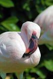 Rosa Flamingo Royaltyfria Bilder