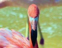 Rosa Flamingo Arkivbild