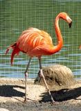 Rosa Flamingo Royaltyfri Fotografi