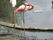 Rosa Flamingo Royaltyfri Foto
