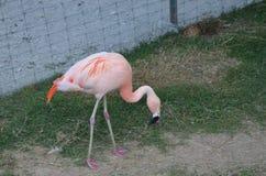 Rosa Flamingo Lizenzfreie Stockbilder