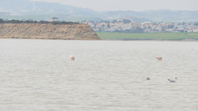 Rosa Flamingo auf See stock footage
