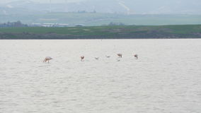 Rosa Flamingo auf See stock video