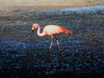 Rosa flamingo Bolivia Arkivfoton
