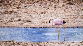 Rosa Flamingo, der allein und gehen, Trinkwasser innerhalb einer Salzlagune im ` Salar de Atacama-` Lizenzfreie Stockfotografie