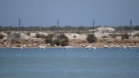 Rosa Flamingo, der auf einem Fuß nahe dem Ufer steht stock video footage