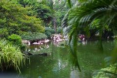 Rosa Flamingo, der im Wasser mit Reflexion steht Lizenzfreies Stockbild