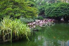 Rosa Flamingo, der im Wasser mit Reflexion steht Lizenzfreies Stockfoto