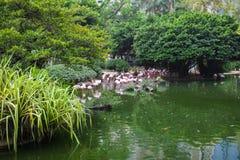 Rosa Flamingo, der im Wasser mit Reflexion steht Stockfotos