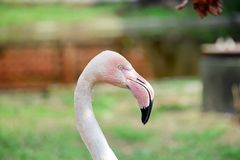 Rosa-Flamingo-Hauptprofil-Ansicht lizenzfreie stockbilder