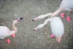 Rosa flamingo i det löst Datera lekflamingo arkivfoton