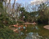 rosa flamingo i en vattensjö i en vår parkerar djurliv Royaltyfri Fotografi